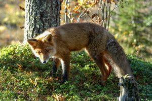 Red Fox in Lofoten